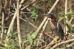 Adult green heron Royalty Free Stock Photos