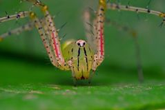 Adult green lynx spider sitting stock photography
