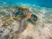 Adult green sea turtle Chelonia mydas Stock Image