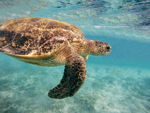 Adult green sea turtle Chelonia mydas Royalty Free Stock Photo