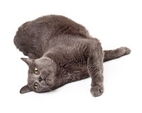Adult Grey Cat Laying Outstretched Royalty Free Stock Photography