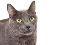 Adult Grey Cat Looking Up Stock Photo