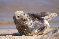Adult grey gray seal from the Horsey colony UK stock photo