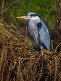 Adult Grey Heron Ardea cinera royalty free stock image
