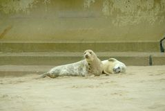 Adult grey seal and pup. royalty free stock photos