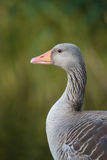 An adult greylag goose Royalty Free Stock Photography