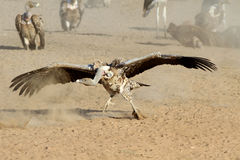 The adult griffon vulture Stock Images
