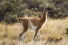 Adult Guanaco among grass in patagonia Stock Images