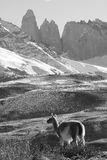 Adult Guanaco, Torres Del Paine National Park, Patagonia, Chile. A black and white, mountainous landscape photo of a guanaco looking thoughtfully over the Royalty Free Stock Photography