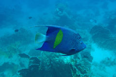 Adult halfmoon angel. Of the Red Sea coral reef Royalty Free Stock Image