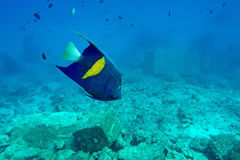 Adult halfmoon angel. Of the Red Sea coral reef in the natural environment Stock Photos