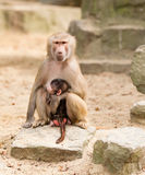 Adult hamadryas baboon with baby Stock Photography