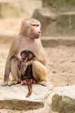 Adult hamadryas baboon with baby Royalty Free Stock Photography