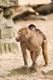 Adult hamadryas baboon with baby Royalty Free Stock Photos