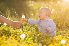 Adult hand holds baby dandelion at sunset Kid sitting in a meado Stock Photos