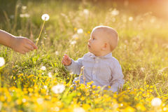 Adult hand holds baby dandelion at sunset Kid sitting in a meado Royalty Free Stock Photos
