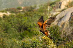 Adult Harris' Hawk. About to Launch Into Flight From Yucca Plant Perch Royalty Free Stock Photo
