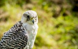 Adult hawk Stock Image