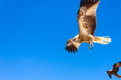 Adult hawk Royalty Free Stock Photos