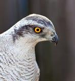 Adult Hawk goshawk Royalty Free Stock Photos