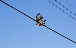 Adult Hawk Takes Flight Stock Image