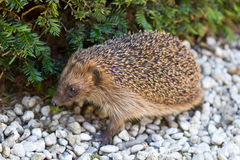 Adult hedgehog in daylight Royalty Free Stock Photos