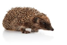 Adult hedgehog isolated on white Royalty Free Stock Photo