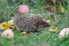 Adult hedgehog walking in garden and carrying red apple on its spines Stock Photography