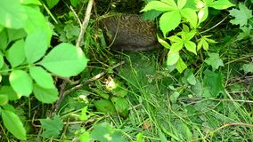 Adult hedgehog walks in a forest through lush green vegetation. Beautiful active hedgehog walks through frame in natural environment in a forest in the middle of stock video