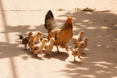 Adult hen and her newly hatched chickens stock photos