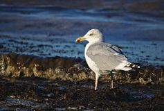 Adult herring gull lit by sunlight standing on the beach near the flood line Stock Photography