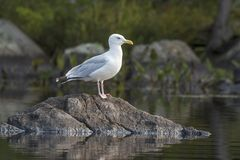 Adult Herring Gull perched on a rock - Ontario, Canada. Adult Herring Gull Larus argentatus perched on a rock in late summer - Haliburton, Ontario, Canada royalty free stock photography