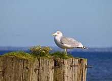 Adult herring gull sitting on old wooden mooring post overgrown with grass and yellow flowers with the sea in the background Stock Images