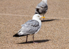 Adult Herring Gull Stock Photo