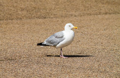 Adult Herring Gull Royalty Free Stock Photos