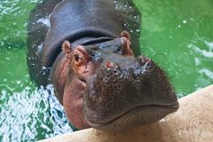 Adult hippo swimming in a pool Royalty Free Stock Photo