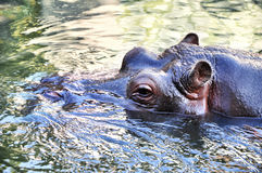 Adult hippo in water. Wildlife animal swimming in water Royalty Free Stock Photography