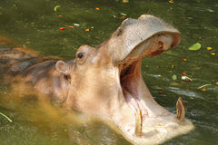 Adult Hippopotamus (Hippopotamus amphibius) with mouth open Royalty Free Stock Photo