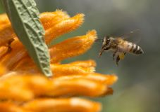 Honey Bee and orange flowers. An adult Honey Bee hovering near some interesting fuzzy orange flowers in San Diego, California stock photography