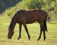 Adult Horse. Grazing in field stock photography
