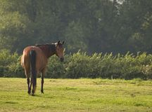 Adult Horse. Free in a field royalty free stock photo