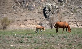 Adult horse with foal graze at the foot of the mountain. Altai, Siberia, Russia. Animals. Adult horse with foal graze at the foot of the mountain. Altai, Siberia royalty free stock photos