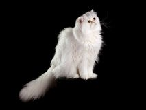 Adult house Persian cat of a white color. On a black background with illumination by kontrovy light Royalty Free Stock Images