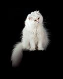 Adult house Persian cat of a white color. On a black background with illumination by kontrovy light Royalty Free Stock Photos