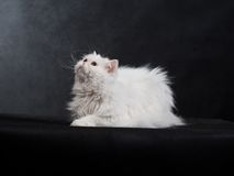 Adult house Persian cat of a white color. On a black background with illumination by kontrovy light Stock Photography