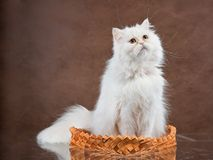 Adult house Persian cat of a white color. Adult house Persian cat of white color on a brown background Royalty Free Stock Photo