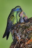 Adult hummingbird feeding two chicks in the nest, Green Violet-ear, Colibri thalassinus, Savegre, Costa Rica royalty free stock photo