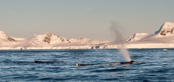 Adult Humpback Whales surfacing and spouting,Antarctic Peninsula royalty free stock image