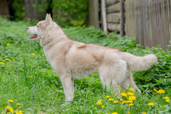 Adult Husky gray standing in the grass Royalty Free Stock Photography