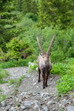 The adult ibex Stock Images